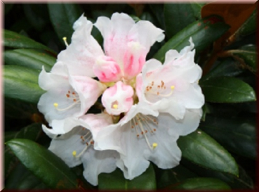 "Rhododendron ""Cunningham's White"" 40 - 50 cm"